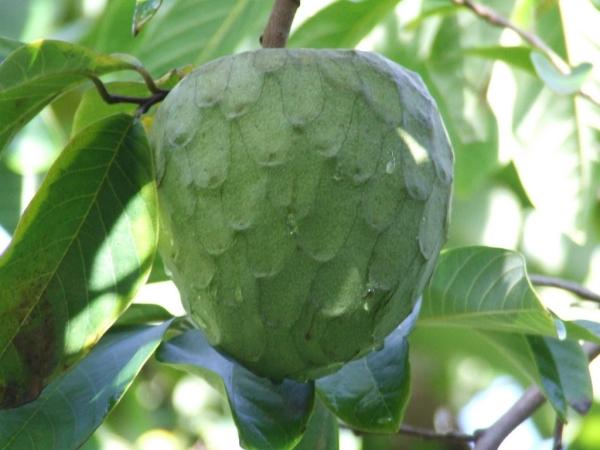 cherimoya un joli fruit