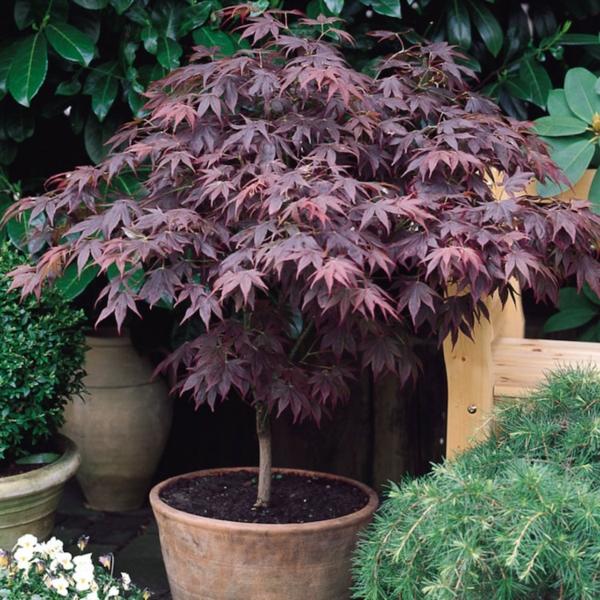 érable du Japon nain Acer Palmatum Autopurpureum