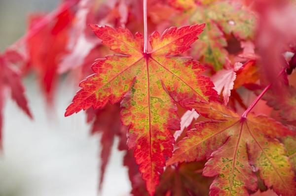 feuilles érable du japon nain