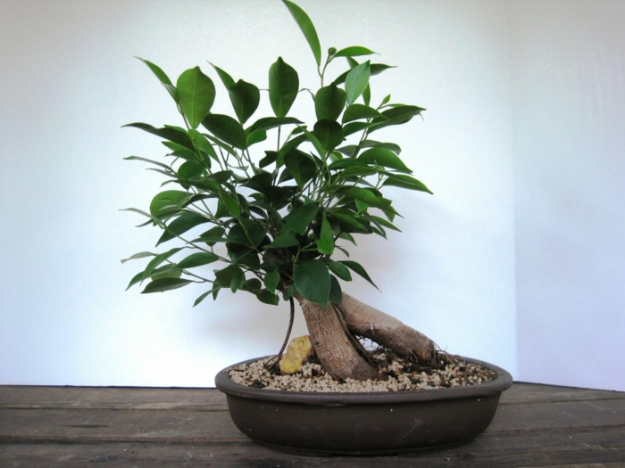 ficus ginseng plante