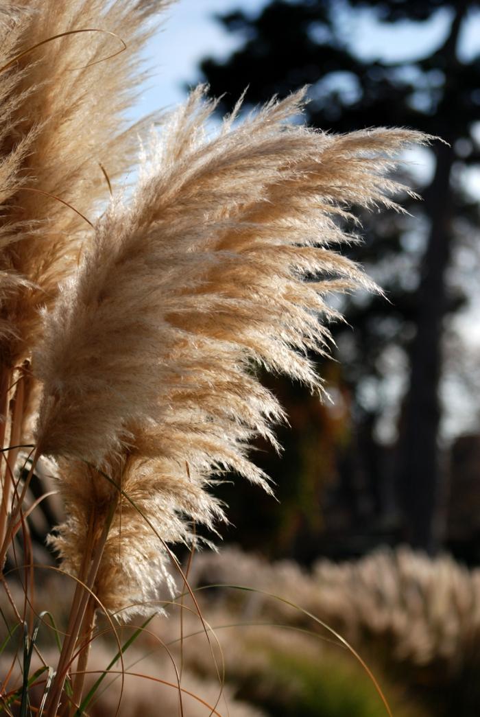 herbe de la pampa plante