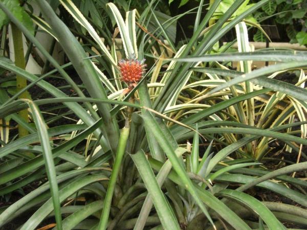 plante ananas comme une fleur