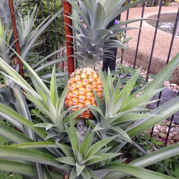 plante ananas dans le jardin