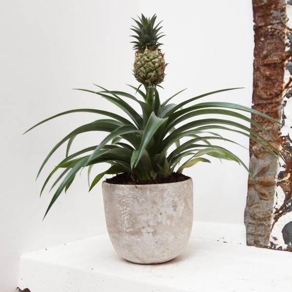 plante ananas empotée en intérieur