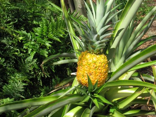 plante ananas en couleur jaune