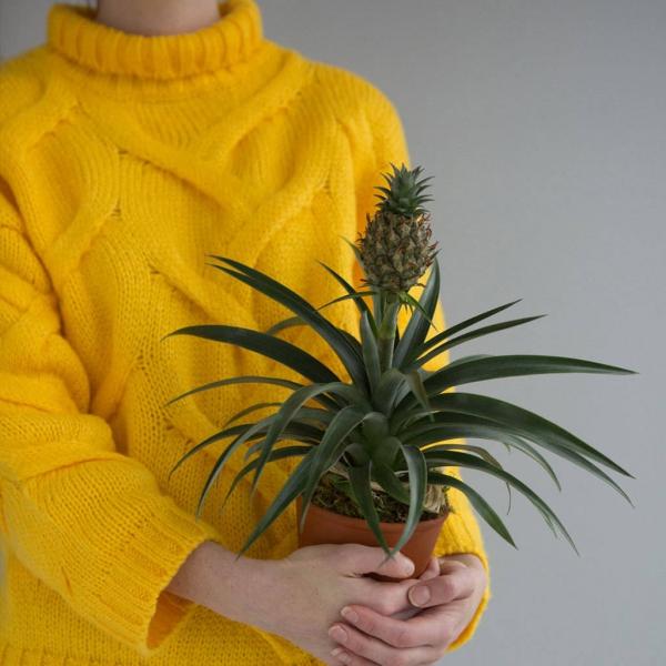 plante ananas en petit pot