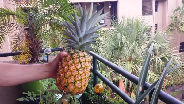 plante ananas jolie couronne