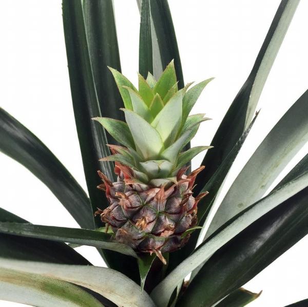 plante ananas petite comme un poing