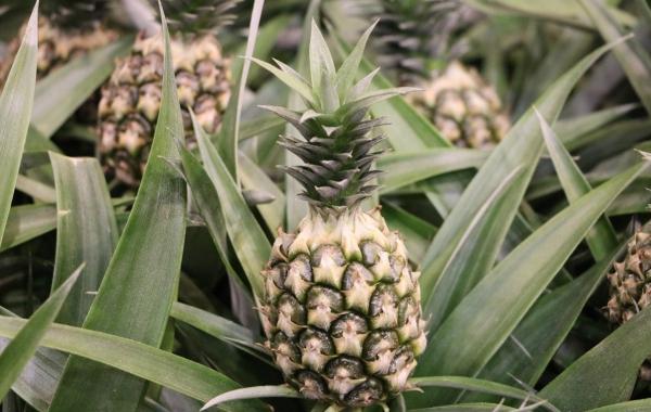 plante ananas phase verte