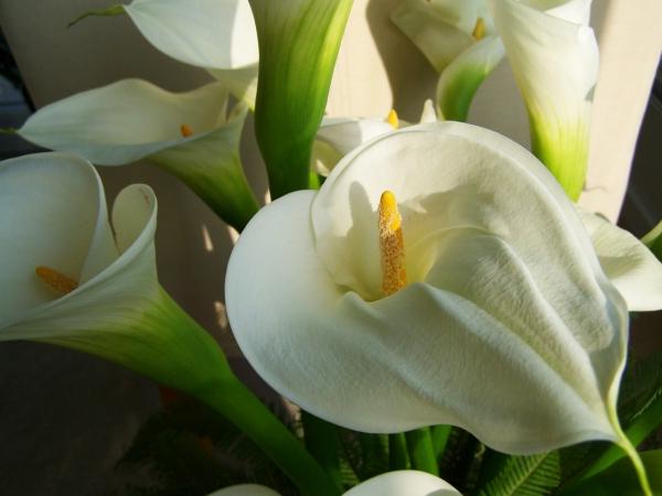 plante arum callas blancs