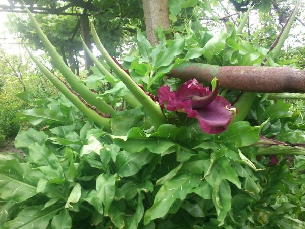plante arum cornes verts