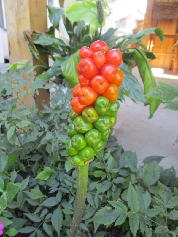 plante arum fruits verts et rouges