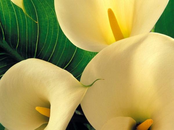 plante arum grands entonnoirs