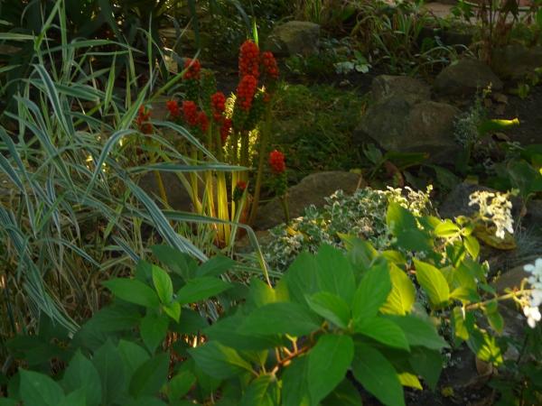 plante arum plante quenouille