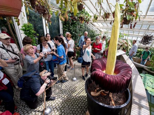 plante arum visiteurs dans un jardin botanique