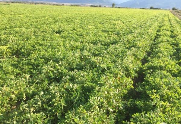 plante cacahuète champ de cacahuètes