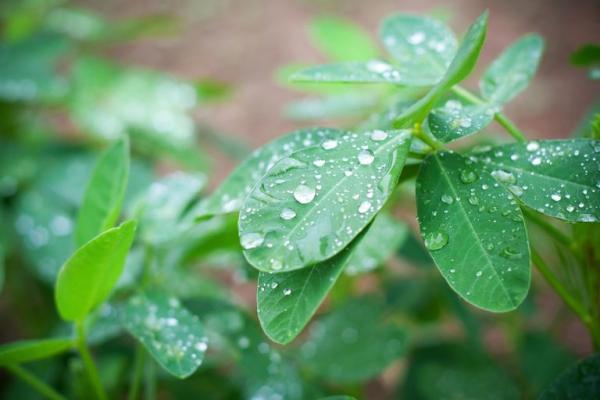 plante cacahuète feuilles fraîches