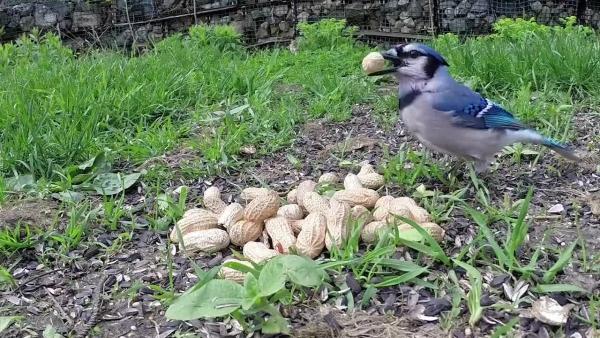 plante cacahuète voleur aux ailes