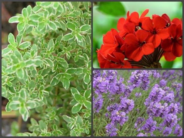 plante chat thym, géranium et lavande