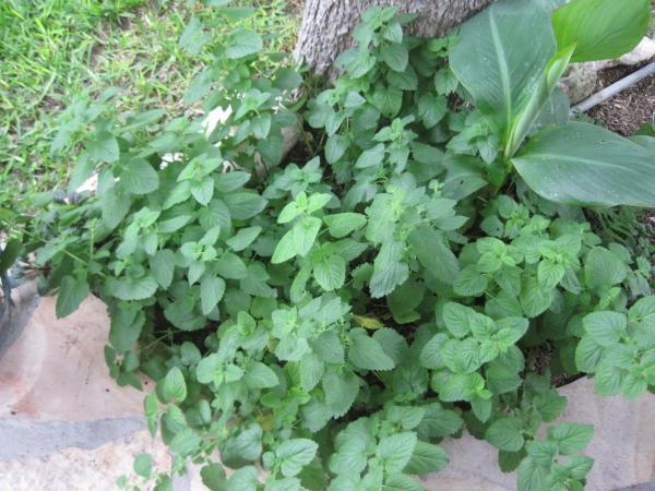 plante citronnelle autour d'un arbre