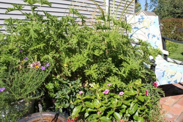 plante citronnelle coin repos dans le jardin