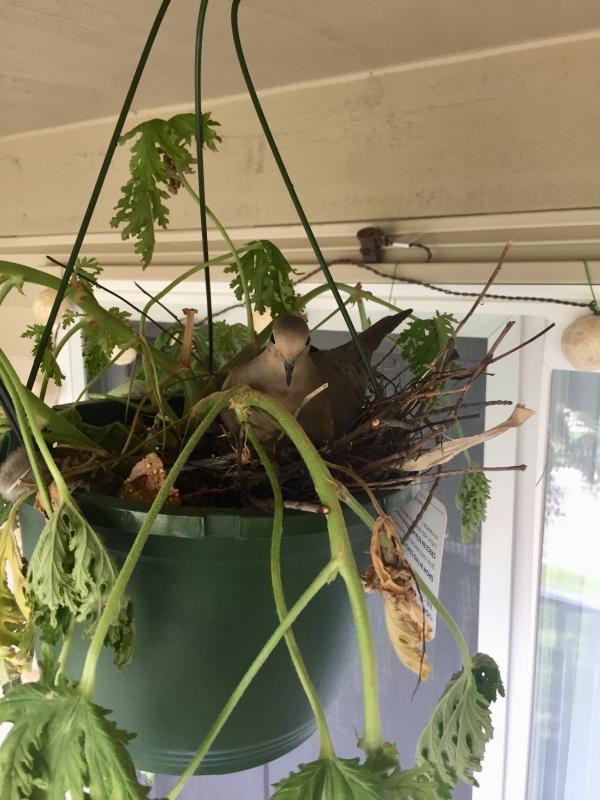 plante citronnelle nid de pigeon
