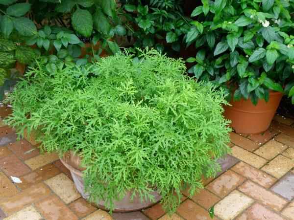 plante citronnelle quelques pots
