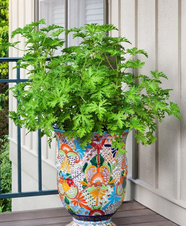 plante citronnelle sur la terrasse