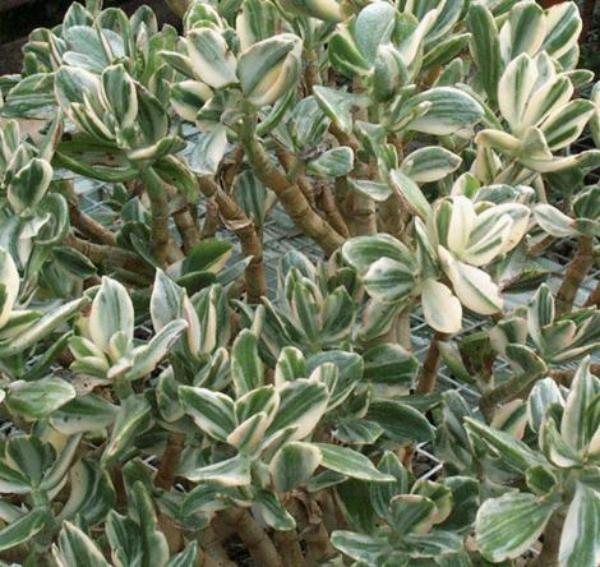 plante crassula à rayures