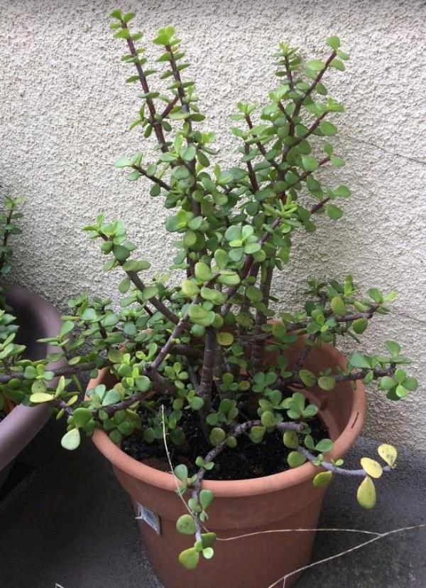 plante crassula aux tiges minces