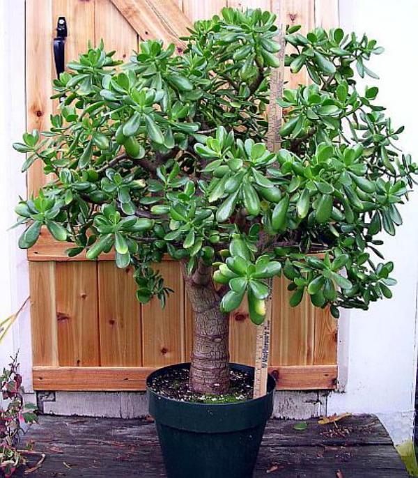 plante crassula avec support