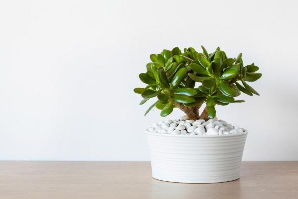 plante crassula cailloux blancs