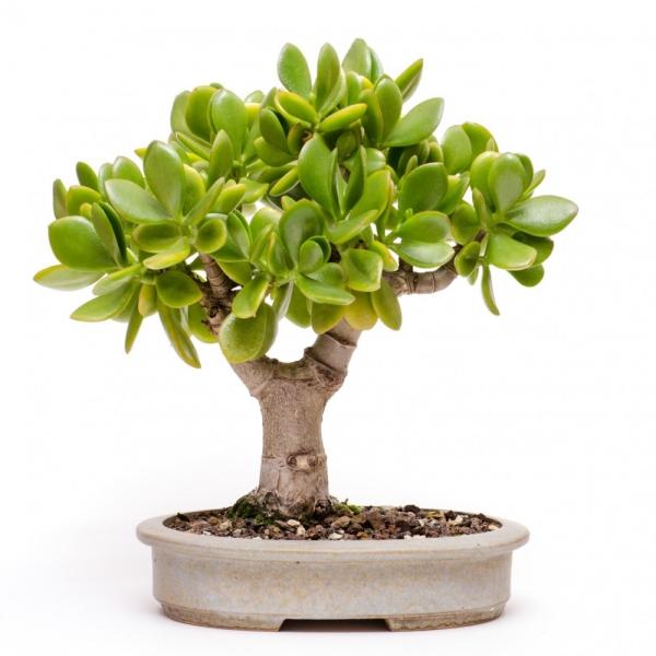 plante crassula de petite taille