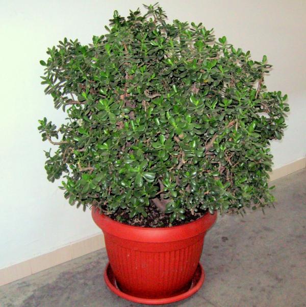 plante crassula grand pot en plastique