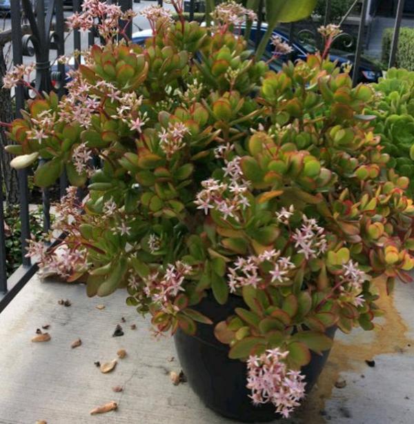 plante crassula plante fleurie