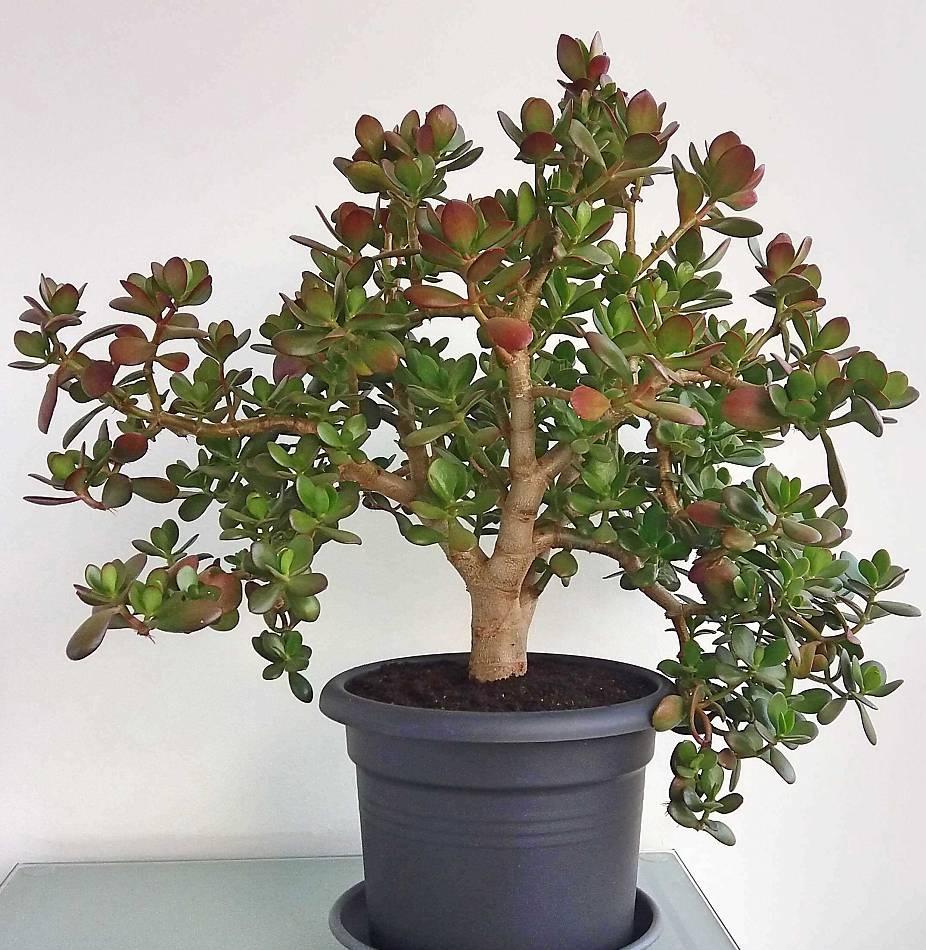 plante crassula tronc épais