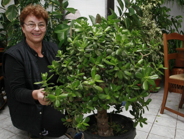 plante crassula un coin vert