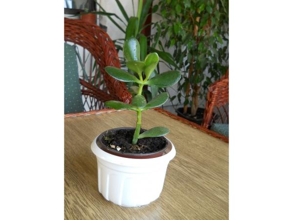 plante crassula un nouveau-né