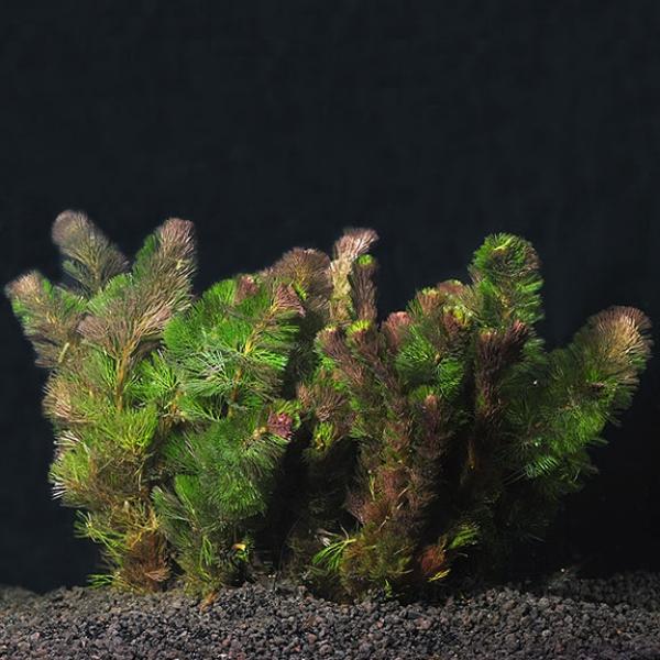 plante d'aquarium cabomba aux épines
