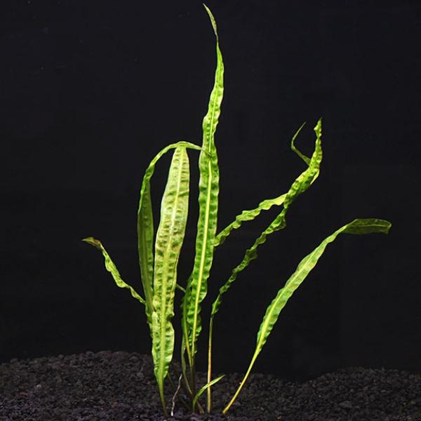 plante d'aquarium cryptocoryne crispatula