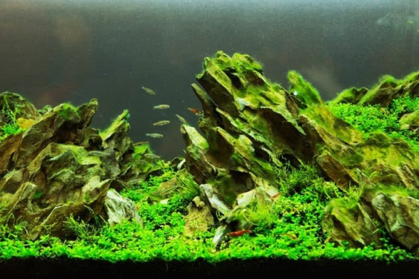 plante d'aquarium de petits rochers