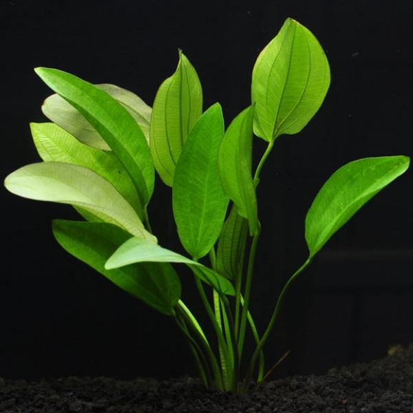 plante d'aquarium mode oriental