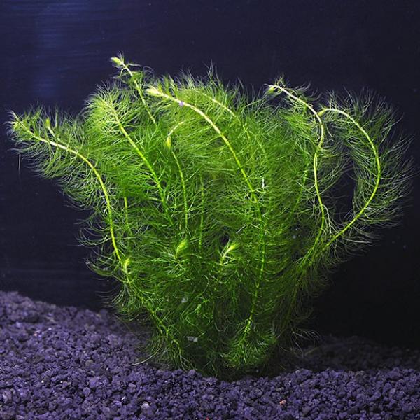 plante d'aquarium myrio vert