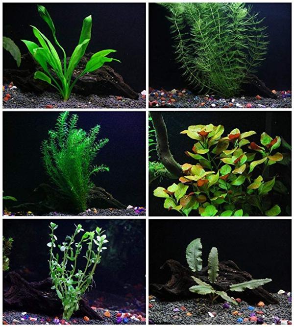 plante d'aquarium plantes de Californie