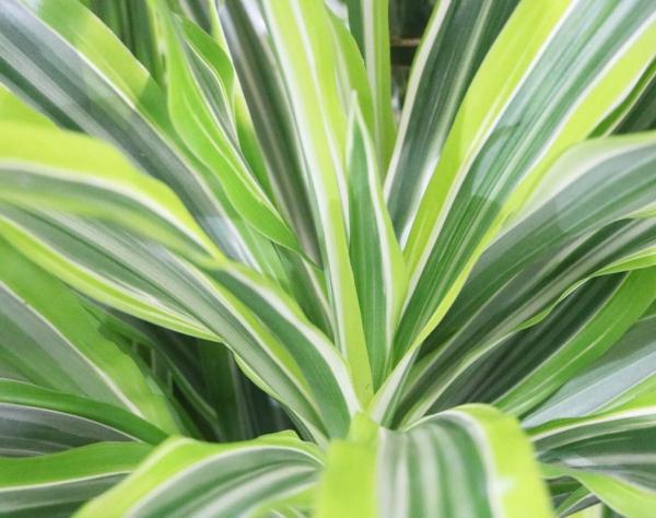 plante dracaena aux bords jaunes