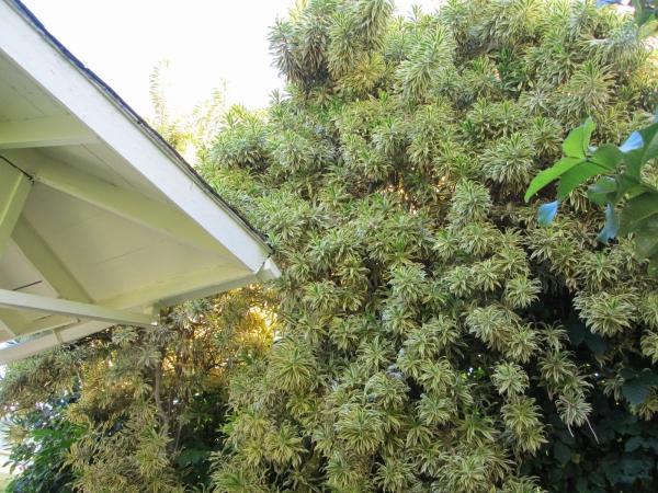 plante dracaena beaucoup de plantes