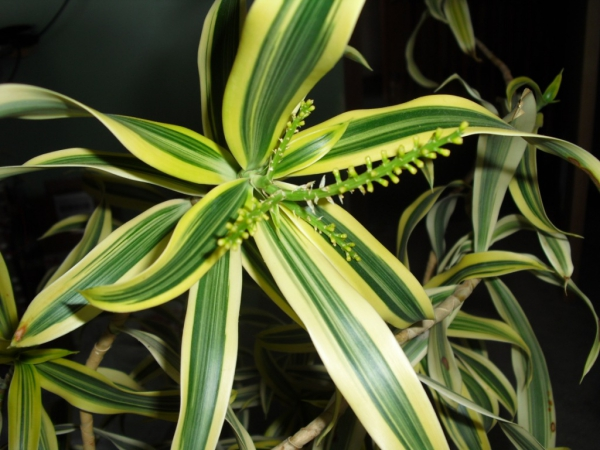 plante dracaena bien développée