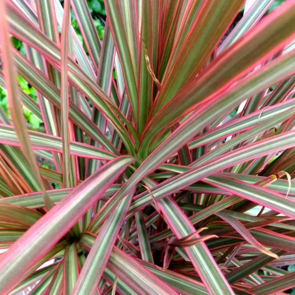 plante dracaena bords rouges