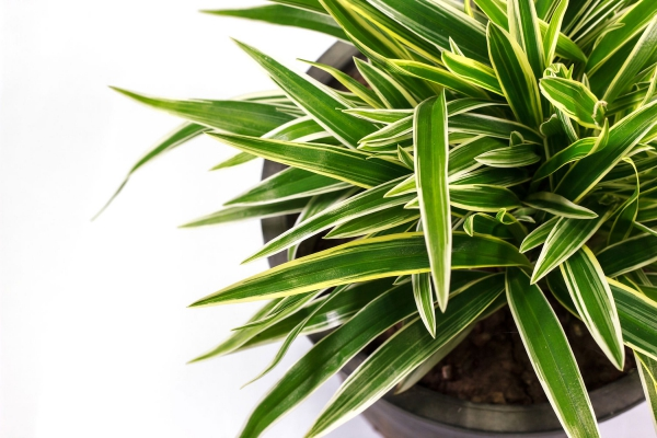 plante dracaena dans un grand pot