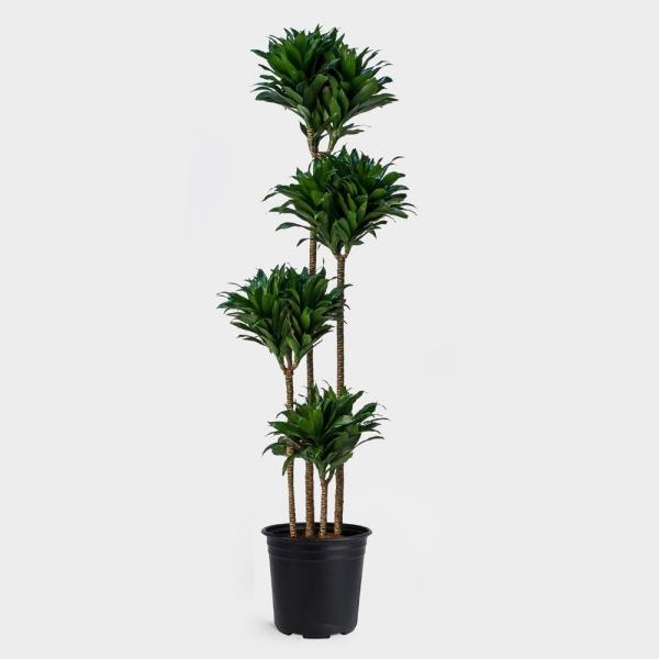 plante dracaena de taille différente